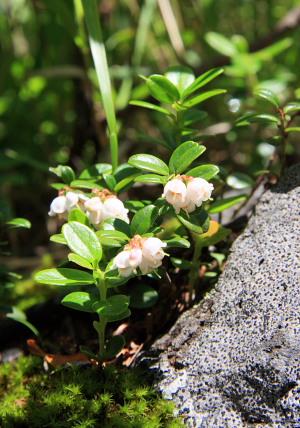 コケモモの花.JPG